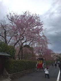 京都花見写真3