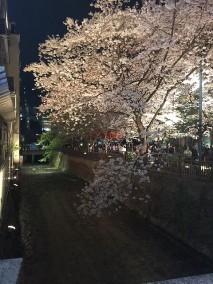 京都花見写真4